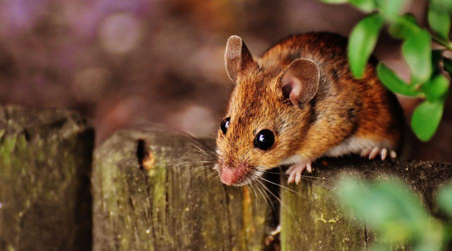 Mouse for dinner?
